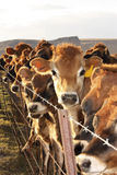 Vacas en la cerca imagenes de archivo