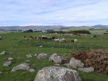 Vacas en la cima de una colina Imagenes de archivo