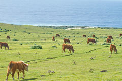Vacas en la costa costa de California Foto de archivo libre de regalías