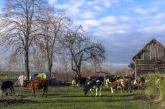 Vacas en la granja Fotos de archivo libres de regalías