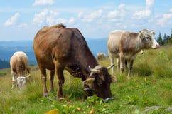Vacas en la granja imágenes de archivo libres de regalías
