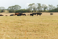 Vacas en la granja Imagen de archivo libre de regalías