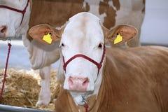 Vacas en la granja Imagenes de archivo