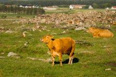 Vacas en la granja fotografía de archivo