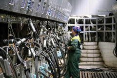 Vacas en la granja de la leche Imagen de archivo libre de regalías