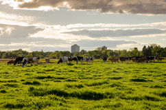Vacas en la granja experimental, Ottawa fotos de archivo libres de regalías