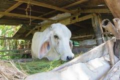Vacas en la granja local fotos de archivo libres de regalías