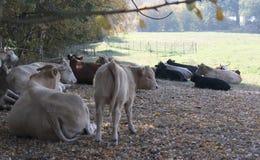 Vacas en la granja fotos de archivo