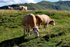 Vacas en la montaña Imagen de archivo libre de regalías