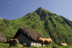 Vacas en la montaña. Stock Image