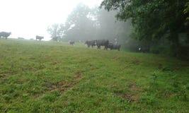Vacas en la niebla imagenes de archivo
