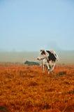 Vacas en la niebla Imagen de archivo libre de regalías