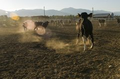 Vacas en la oscuridad Foto de archivo libre de regalías