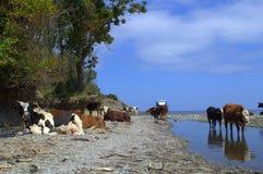 Vacas en la playa Imagen de archivo libre de regalías