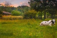 Vacas en la posición de reclinación respecto al prado verde en la puesta del sol Foto común diseñada con paisaje rural en Rumania fotografía de archivo libre de regalías