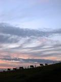 Vacas en la puesta del sol Imágenes de archivo libres de regalías