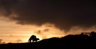 Vacas en la puesta del sol foto de archivo libre de regalías