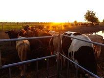 Vacas en la puesta del sol en la granja Fotos de archivo libres de regalías