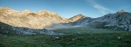 Vacas en la salida del sol en Picos de Europa Foto de archivo libre de regalías