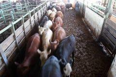 Vacas en la subasta imagen de archivo