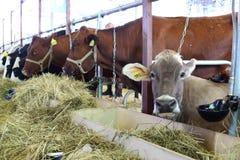 Vacas en la 14ta exposición agrícola totalmente rusa Autumn-2012 de oro Imagenes de archivo