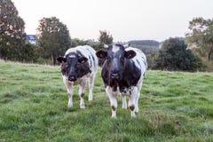Vacas en la tierra Foto de archivo libre de regalías