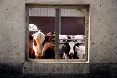 Vacas en la ventana foto de archivo