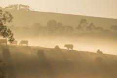 Vacas en las colinas en el amanecer Fotos de archivo libres de regalías