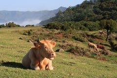 Vacas en las montañas imagenes de archivo