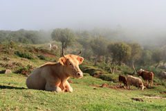 Vacas en las montañas fotos de archivo