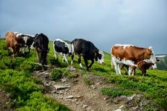 Vacas en las montañas Fotografía de archivo libre de regalías