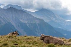 Vacas en las montañas suizas, con un Mountain View hermoso en los vagos Fotografía de archivo