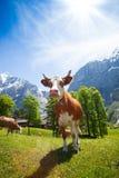 Vacas en las montañas de Suiza Imágenes de archivo libres de regalías