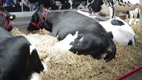 Vacas en los momentos de resto