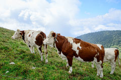 Vacas en los pastos de la montaña Foto de archivo