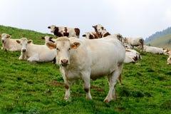 Vacas en los pastos de la montaña Fotografía de archivo