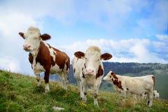 Vacas en los pastos de la montaña imagenes de archivo