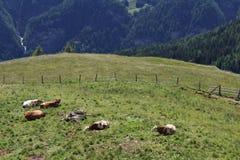 Vacas en los prados en el Grossglockner Imagen de archivo