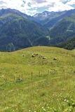 Vacas en los prados en el Grossglockner Imágenes de archivo libres de regalías