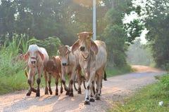 Vacas en luz del sol fotos de archivo