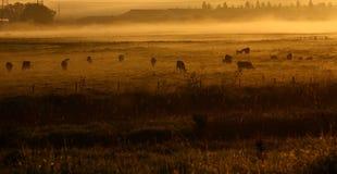 Vacas en niebla de la mañana. Foto de archivo