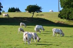 Vacas en Normandía (Francia) Fotos de archivo