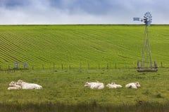 Vacas en Normandía Imagenes de archivo