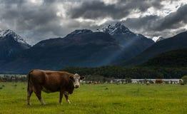 Vacas en Nueva Zelanda. Fotografía de archivo