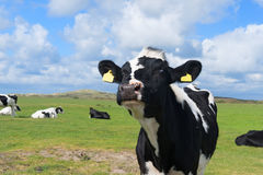 Vacas en paisaje holandés en Holanda Fotos de archivo libres de regalías