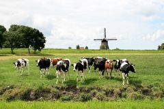 Vacas en paisajes holandeses con el molino Fotografía de archivo libre de regalías