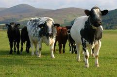 Vacas en pasto Fotografía de archivo libre de regalías