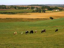 Vacas en pasto Foto de archivo libre de regalías