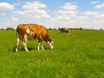 Vacas en pasto. Imágenes de archivo libres de regalías