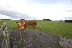 Vacas en pasto Foto de archivo